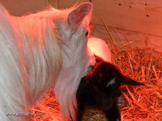 Apricot and her baby Ash Fainting Goat, Ash, Goats, Miniature, Horses, Cute, Animals, Animales, Animaux