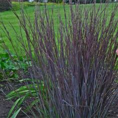 Schizachyrium scoparium 'Smoke Signal' - New Perennials - Perennials - Avant Gardens Nursery & Design Ornamental Grass Landscape, Tall Ornamental Grasses, Evergreen Landscape, Perennial Grasses, Hardy Perennials, Landscape Grasses, Perennials Fabric, Landscape Design, Garden Nursery