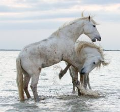 White Horses Play at Dawn by WildHoofbeats on Etsy