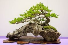Juniper Bonsai Tree.