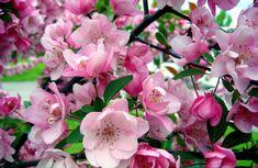 Billedresultat for malus makamik Garden Styles, Pink Flowers, Planters, Romantic, Rose, Gardening, Beauty, Pink, Lawn And Garden