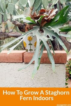 How To Grow A Staghorn Fern Indoors. Staghorn Ferns are as cool & artsy as a houseplant gets.  However, they can be a bit challenging so here are some tips for growing them indoors.  There's also a video to guide you.