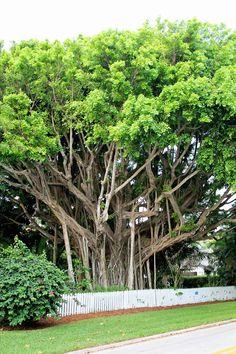 banyon tree in naples fl