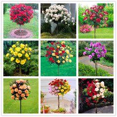 100 개/가방 장미 트리, 씨앗, 분재 나무 꽃 씨앗 장미 나무 식물 발코니 & 마당 화분에 심은 홈 정원