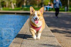 Welsh Corgi Pembroke, Wireless Dog Fence, Aggressive Dog, Dog Hacks, Small Dog Breeds, Training Your Dog, Training Tips, Corgis, Beautiful Dogs