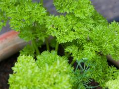 The textured, emerald leaves of curly parsley provide interesting texture and rich color for annual gardens and mixed borders. Grow plenty of it to make a big impact and have enough extra for kitchen use. Types Of Herbs, Growing Herbs, Herb Garden, Parsley, Outdoor Gardens, Environment, Flowers, Plants, Emerald