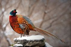 "followthewestwind:  ""Ring-Necked Pheasant"" by Bobby McLeod 