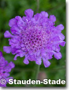 Staudenfoto zu Scabiosa columbaria 'Vivid Violett' (Tauben-Skabiose)
