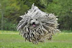 """""""The Puli, native Hungarian dog breed with fur that curls into dreadlocks. 15 Dogs, Dogs And Puppies, Hungarian Dog, Dog Breeds That Dont Shed, Puli Dog, Komondor, Tier Fotos, Collie, Cute Dogs"""