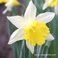 Topolino Rock Garden Daffodil Narcissus