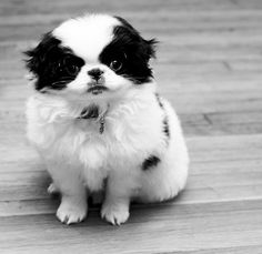 Japanese Chin puppy...aww i used to have one until we had to get rid of her because she shed too much :(