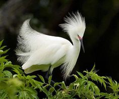 The Snowy Egret (Egretta thula) is a small white heron. It is the American counterpart to the very similar Old World Little Egre.