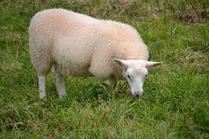 Dingle Peninsula - Ireland by karly b #Sheep #Ireland #Dingle_Peninsula