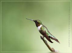 ruby chested hummingbird | ruby chested hummingbird