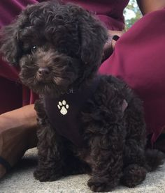 Toy Poodle breeder of Red, Chocolate Brown and Blacks for the Confirmation Show Ring or companionship located in Boise, Idaho. Poodles Toy, Toy Poodle Puppies, Teacup Puppies, Cute Puppies, Cute Dogs, Corgi Puppies, Brown Toy Poodle, Teddy Bear Poodle, Chocolate Toy Poodle