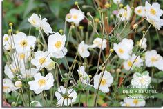 Anemone japonica (japanse anemoon)