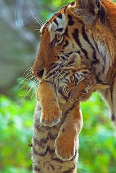 Mom and baby tiger