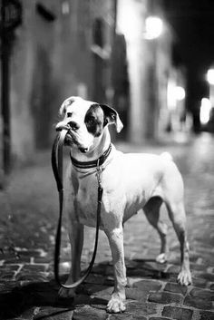 Im waiting to go for a walk. Puppy dog Dogs In Black and White Puppies Boxer DogsInBlackandWhite Boxer Puppies, Dogs And Puppies, Doggies, I Love Dogs, Cute Dogs, Der Boxer, Animals And Pets, Cute Animals, Photo Animaliere