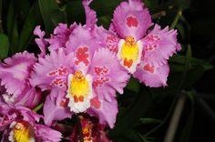 Odontioda Gus Bellchambers x Odontoglossum crispum  - Flickr - Photo Sharing!