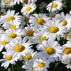 Love Shasta daisies
