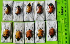 10 Lot Unusual Man-Faced Bug Catacanthus incarnatus Stink FAST SHIP FROM USA