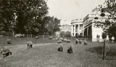 President Wilson's Sheep at White House, 1919. During World War I, Woodrow and Edith Wilson kept a flock of sheep on the White House grounds to save costs to cut the grass. The wool was also auctioned off to raise money for the Red Cross. Photograph by Martin Gruber for the Smithsonian Collection
