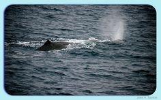 Un viaje entre ballenas / Whale safari