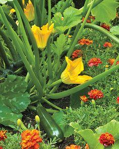 Perfecte oplossing: Oranje afrikaantje trekken bijen en andere goede insecten aan en houden de slecht weg zoals; bladluis en rupsen!