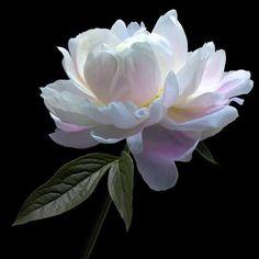 46 Ideas Flowers Black And White Photography Nature Plants Amazing Flowers, White Flowers, Beautiful Flowers, White Peonies, Peony Flower, Flower Art, Fleur Orange, Fleur Design, Nature Plants