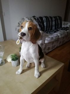 Baby beagle with his bell http://ift.tt/2qruMHy
