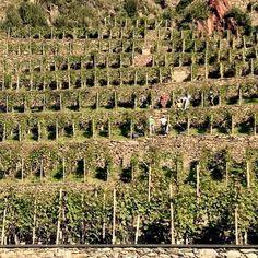 Benvenuta Vendemmia ☺  fotografia casa vitivinicola ARPEPE