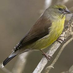 The Cape Siskin, (Serinus totta), is a small passerine bird in the finch family. It is an endemic resident breeder in the southern Cape Province of South Africa.