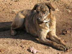 Interested in getting a Plott Hound? See pictures and learn about its size, personality, health, costs of ownership, and more.