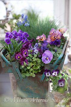 pensé vårblommor vårplantering minna mercke schmid...