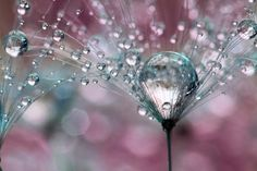 Macro photography, water drops in flowers by Sharon Johnstone.