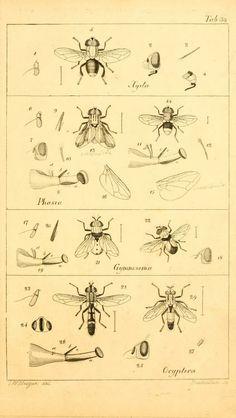 T. 4 - Systematische Beschreibung der bekannten europäischen zweiflügeligen Insekten / - Biodiversity Heritage Library