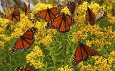 How To Raise Monarch Butterflies - Modern Farmer