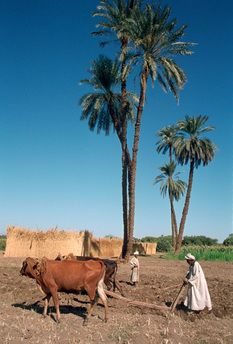Farmer with an ox-drawn plough, Dendera, Egypt.