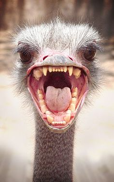This pic is probably one of my 'Top fav pics ever! Omgosh, teeth photoshopped onto an ostrich .'Ostrichs Gone Wild', this is Count Ostrich-ula. Too funny! Angry Animals, Funny Animals, Cute Animals, Happy Animals, Scary Birds, Funny Birds, Charles Darwin, Emu, Cute Animal Pictures