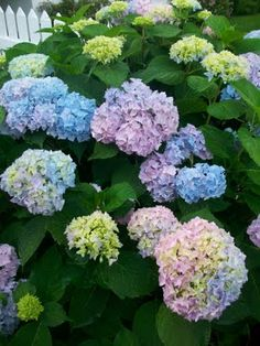 Hydrangea - my favorite flowering plant. I think of my Gran Gran when I see these.