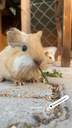 Baby Guinea Pigs, Guinea Pig Care, Cute Little Animals, Adorable Animals, Piggly Wiggly, Mako Mermaids, Diy Stuffed Animals, Funny Animals, Random Stuff