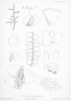 Resultado de imagen para Jungermanniidae