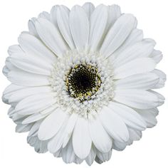 Germini Daisies White Bulk Flowers    Fresh dark pink Mini Gerbera Daisies are known for their nearly flawless blooms. These white flowers are sure to add modern elegance to any table centerpiece, wedding bouquet or flower arrangement.
