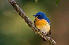 Oriental Bird