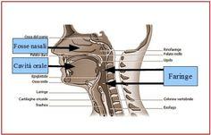 Cavità di risonanza della voce