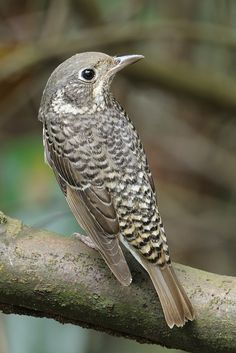 White-throated Rock Thrush (female) by yychong   Flickr - Photo Sharing!