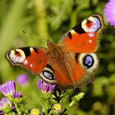 """""""PeaCoCK BuTTeRFLy """" """"http://THaNKyouiLoVeiT.CoM/butterfly/peacock-butterfly/ """""""