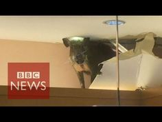 Hong Kong: Wild boar smashes through shop ceiling - BBC News Hong Kong, Homemade Apple Pies, How To Make Homemade, Apple Pie Moonshine, Wild Boar, Kids Store, Mall, Ceiling, Video News