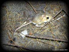 Kangaroo Rat photographed on 6-1-13 by James K. Bowden in California's Colorado Desert at night.