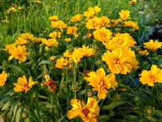 "COREOPSIS, 'EARLY SUNRISE' (Coreopsis grandiflora) Native Perennial;  Ht: 18""-24"" Color: Yellow Light: Sun to Part Shade. Spread: 10"" Bloom Period: May to June Soil: Well Drained. Early blooming cultivar of the native Coreopsis. Bright yellow semi-double flowers cover this plant in spring. Easy to grow."